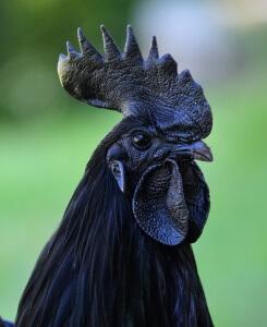 черная курица