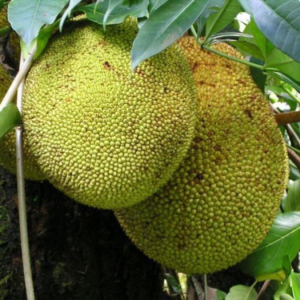 Заморский фрукт джекфрут